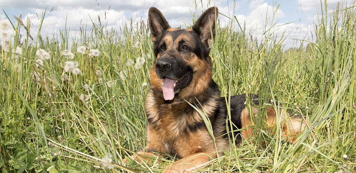 German shepherd lying in long grass with tongue hanging out.
