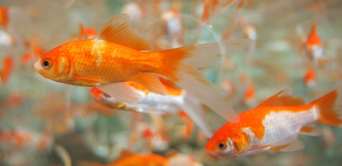 Gold fish swimming in their tank.
