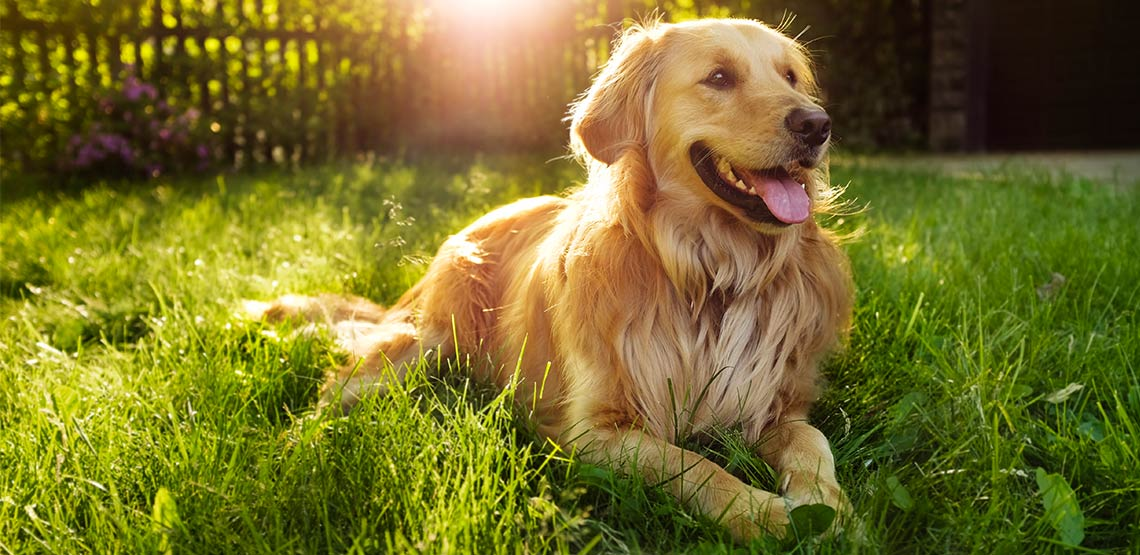 Golden retriever dog lying in grass with tongue out