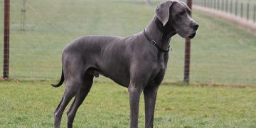 Great Dane dog standing on grass with fence behind