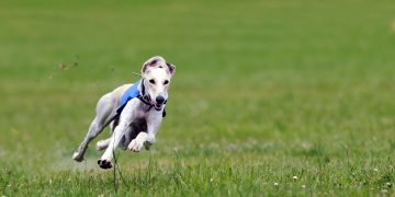 Greyhound running on grass