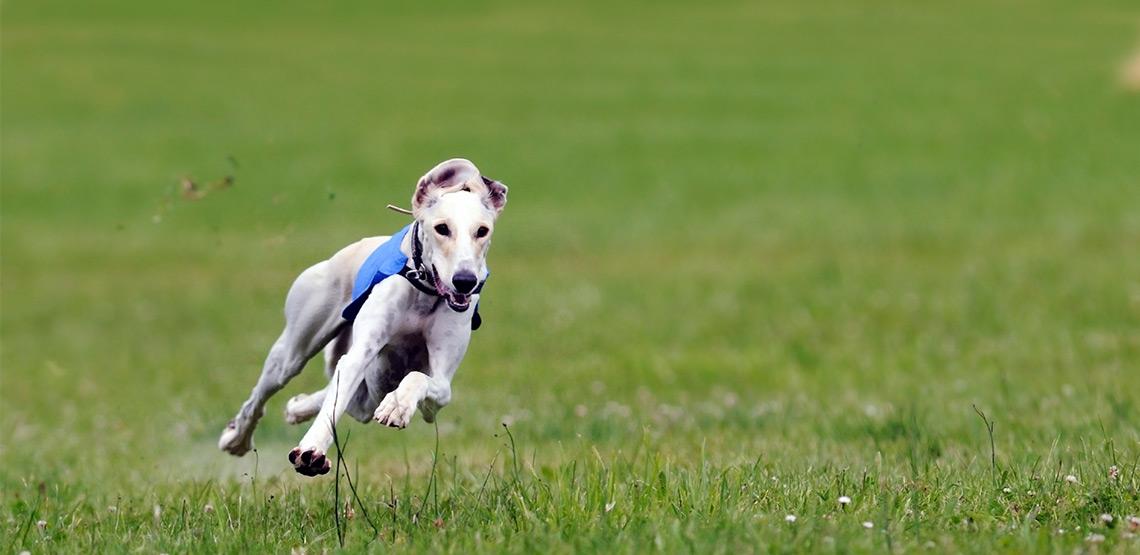 Greyhound running on grass