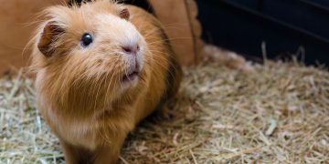 A guinea pig in a cage with shavings on ground