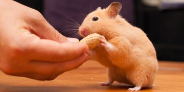 Hamster eating peanut out of someone's hand