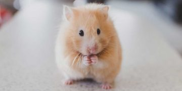 A tiny hamster sitting up straight.