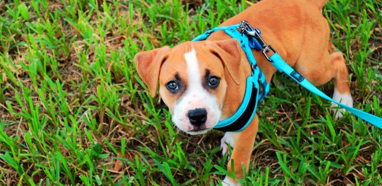 Puppy wearing harness, looking up at camera