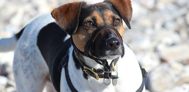 Dog wearing head collar