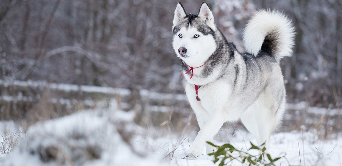 A husky running in the snow