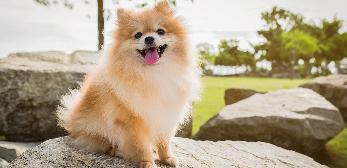 A pomeranian sitting on a rock