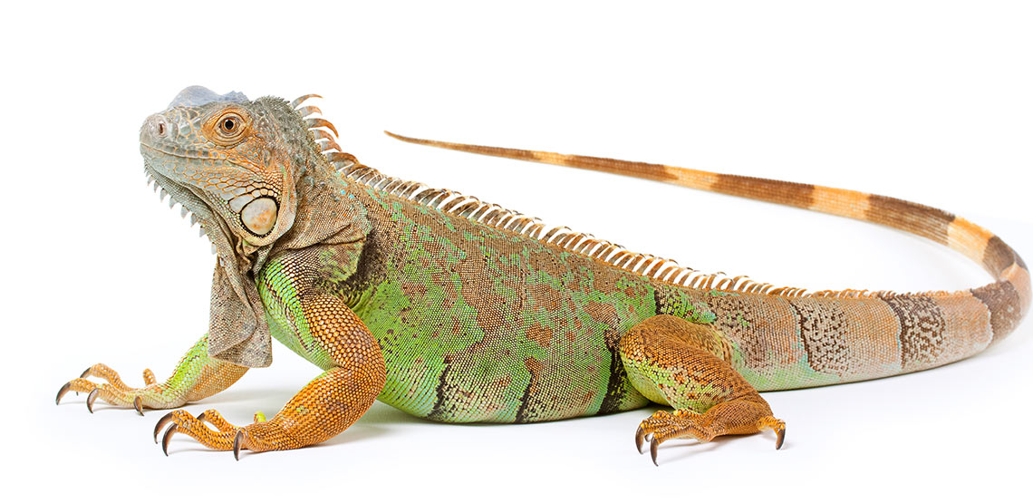 Iguana on white backdrop