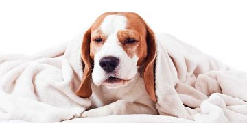 A sick dog laying underneath a blanket.