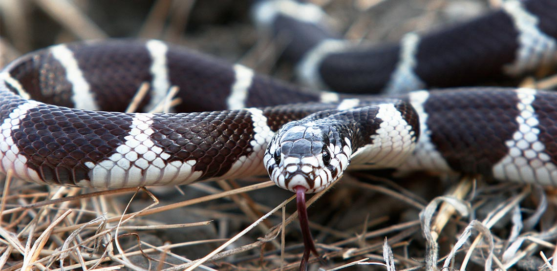 King snake on ground with tongue out.
