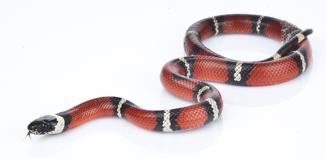 Milk snake stretched out on ground.