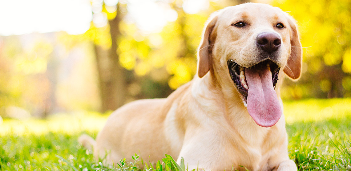 Labrador retriever lies in grass with tongue hanging out.