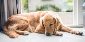 Golden retriever lying on ground