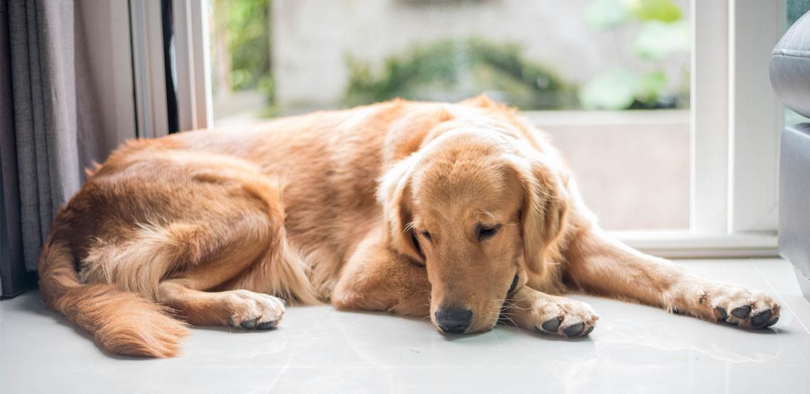 Golden retriever lying on ground