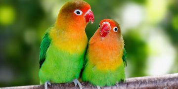 Two lovebirds sitting on a branch