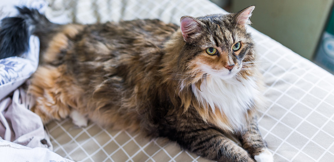 Maine coon cat lying on bed
