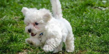 Maltese running in grass