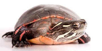 Painted turtle on white background
