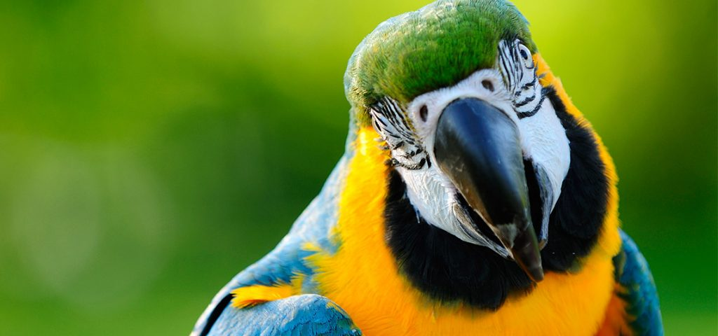 Parrot with green background