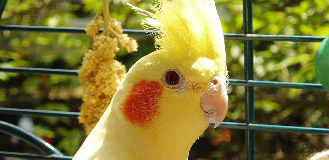A cockatiel is a popular pet bird.