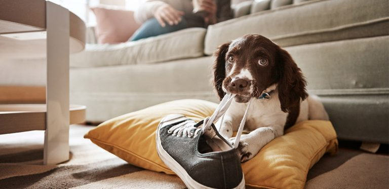 Dog chewing on a shoe