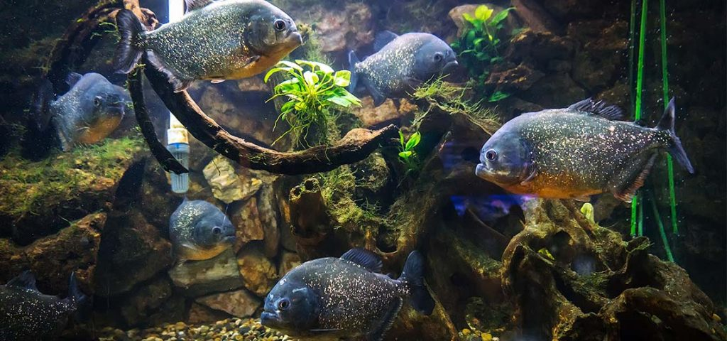 School of piranhas in a tank