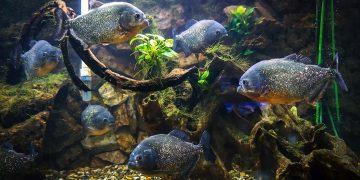 School of piranhas in a tank