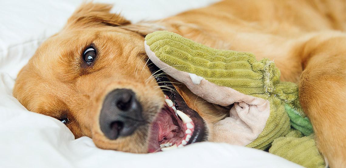Dog lying on a bed cuddling with plush alligator toy