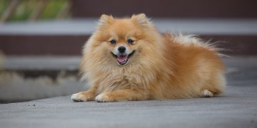 Pomeranian lying on ground
