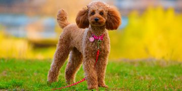 Poodle standing in field