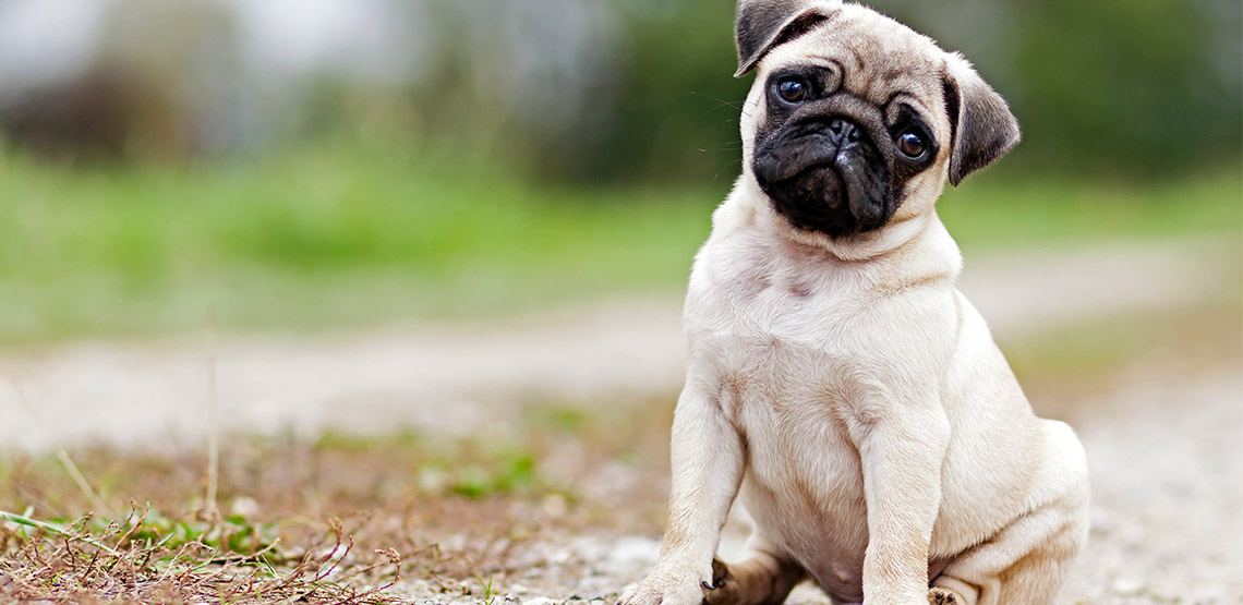Pug sitting with head tilted