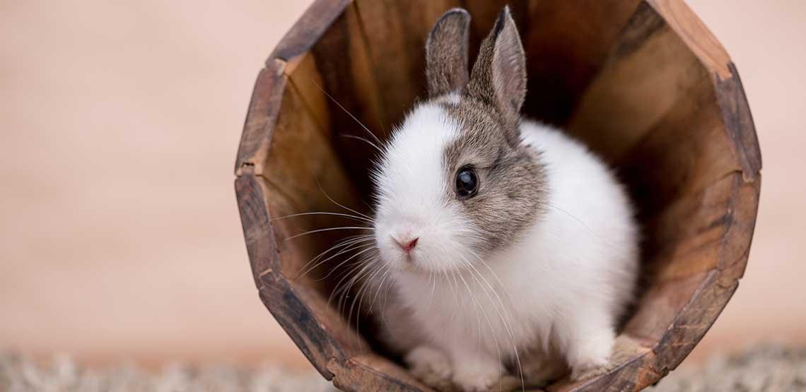A pet rabbit sitting in a wooden bucket.