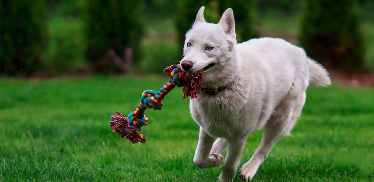 Dog running with rope in its mouth