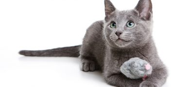Russian blue cat with mouse toy lying on ground