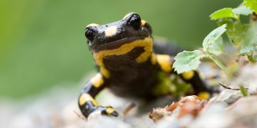 Salamander facing camera