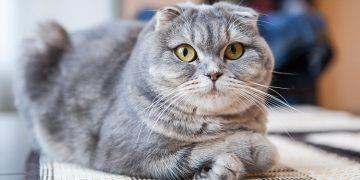 Scottish fold cat lying down inside