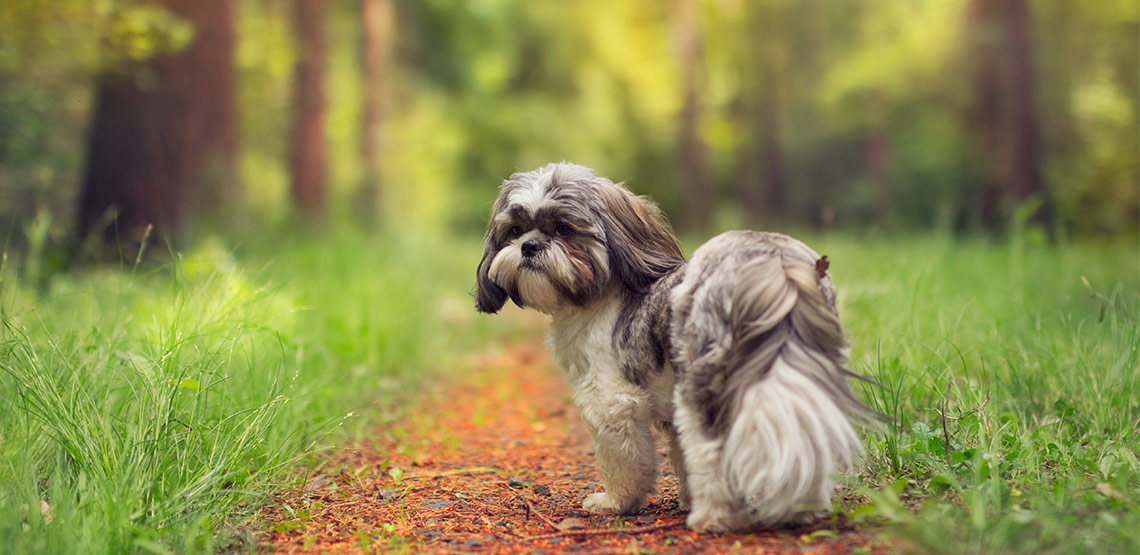 Shih tzu standing on path in forest