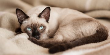 Siamese cat curled in a ball