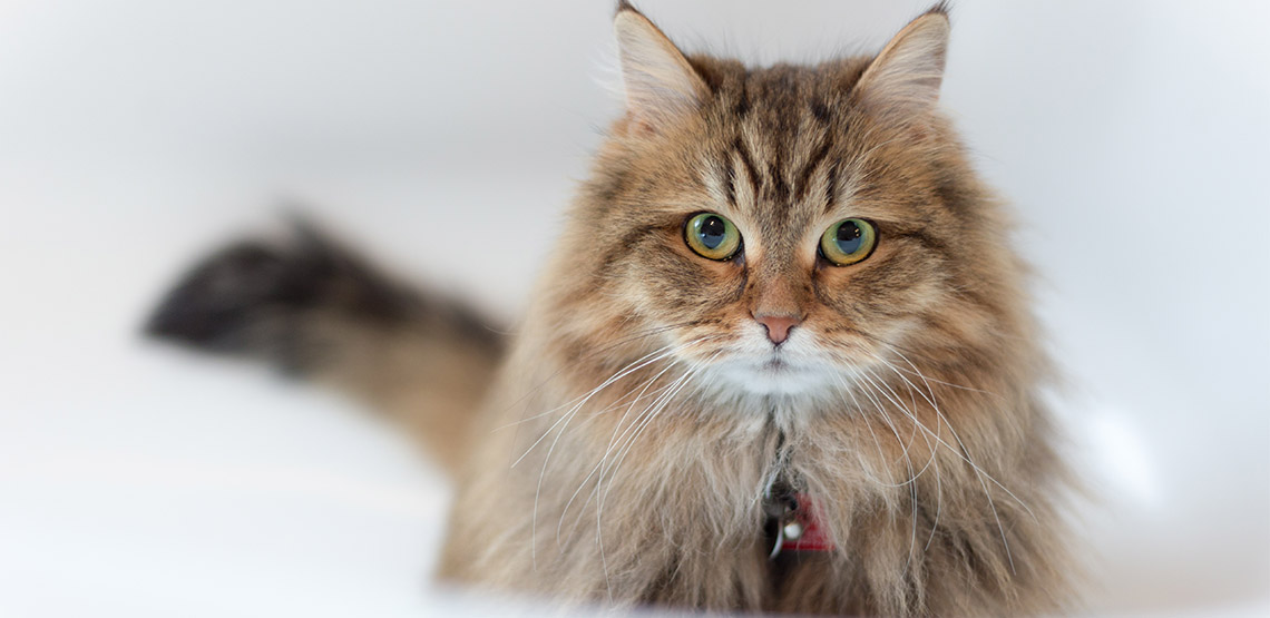Siberian cat stares at camera