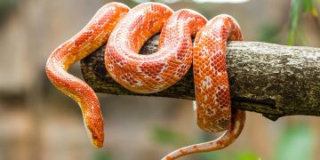 An orange corn snake wrapped around a branch