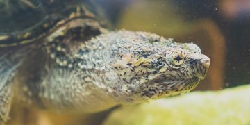 Snapping turtle in tank