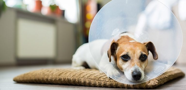 Dog with cone on head lying down