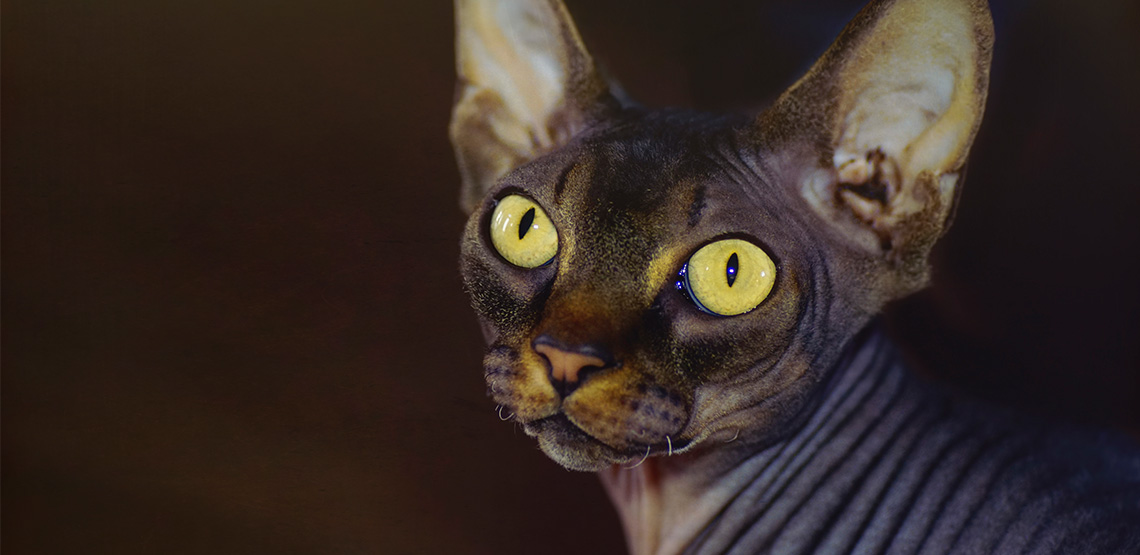 A hairless cat