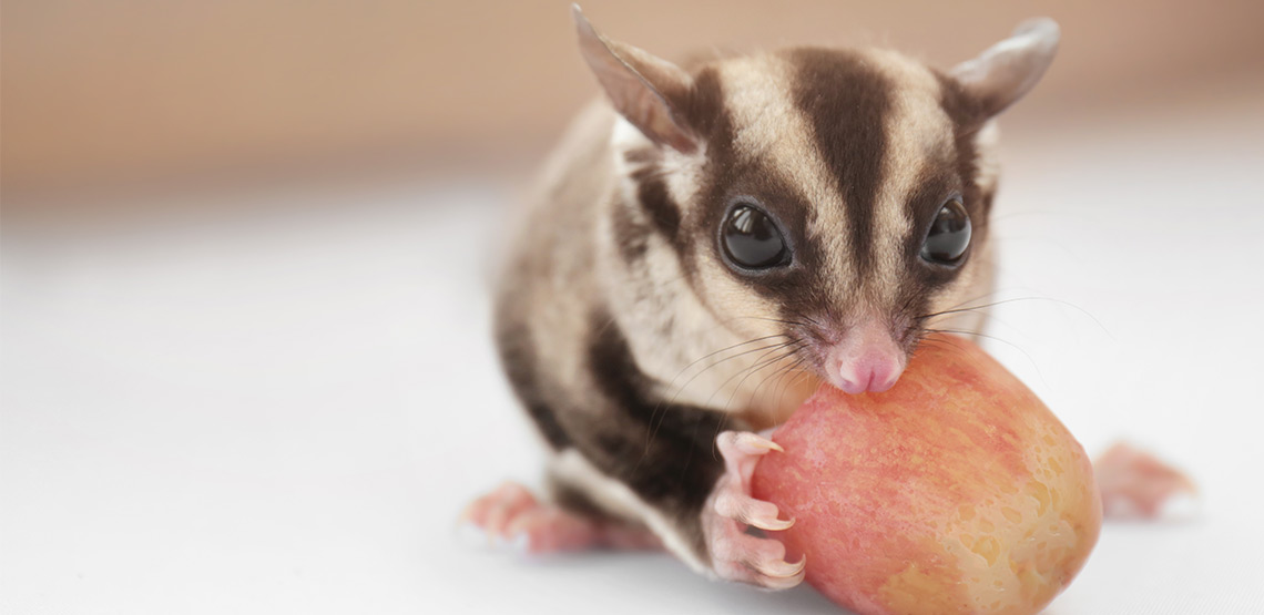 A sugar glider eating an apple