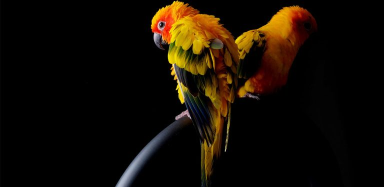 Two Sun Conures sitting on perch