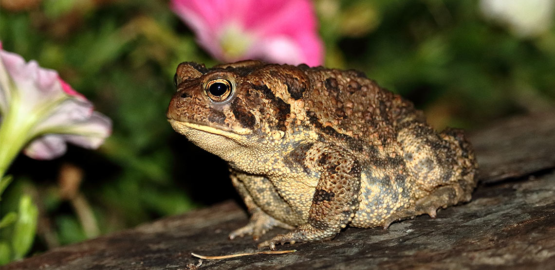 Toad with flowers in background