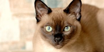 Tonkinese cat lying down