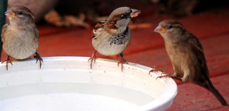 Birds sitting on edge of water dish